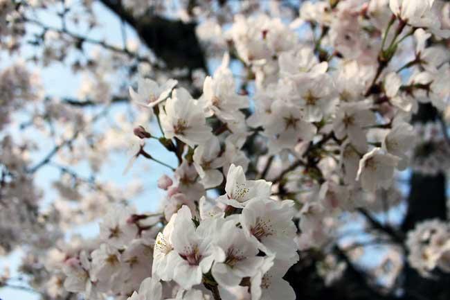 hanami fioritura dei ciliegi